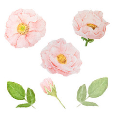 watercolor pink roses collection on white vector image
