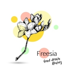 Freesia flower for wedding or birthday card vector image vector image