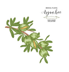 Argan tree argania branch with fruits medical vector