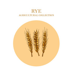 Ears rye crop agricultural collection vector