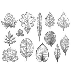 Sketch autumn leaves hand drawn fall foliage vector