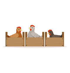 Chicken sitting in wooden perches breeding vector