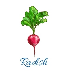 Radish vegetable isolated sketch icon vector