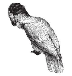 Cockatoos vintage vector