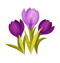 Violet crocus on a white vector