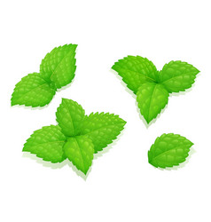 mint leaves set natural aroma vector image