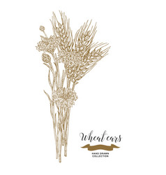 Wheat ears and cornflowers bouquet hand drawn vector