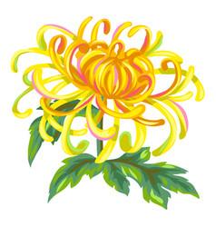 Blooming chrysanthemum flower vector