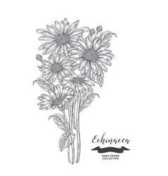echinacea flowers and leaves medical plants set vector image