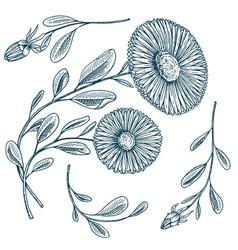 herb medicinal chamomile or daisy wheel vector image