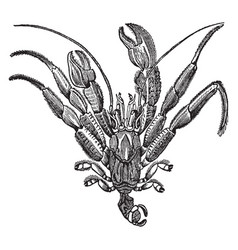 Pagurus bernhardus out of the shell vintage vector