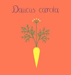 Flat on background daucus carota vector