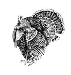 hand drawn turkey vector image