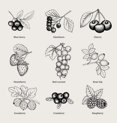vintage natural berries collection vector image