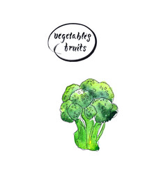 green fresh and raw broccoli vector image