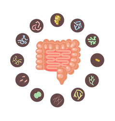 Infographic of intestines with microbiota vector
