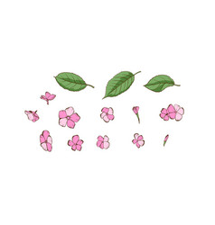 Phlox petals and flower on white background vector