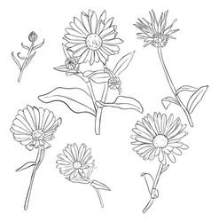 Set of drawing calendula flowers vector