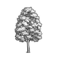 Ink sketch maple tree vector