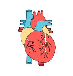 Anatomical human heart internal muscular organ vector