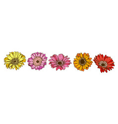 colorful daisy flowers isolated on white vector image