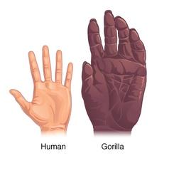 Human vs Gorilla hand vector