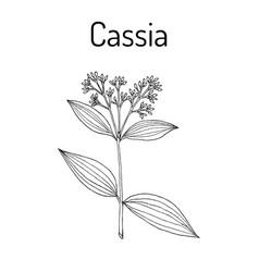 Chinese cassia cinnamomum cassia medicinal plant vector