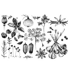 hand drawn herbs and spices set vector image