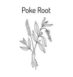 Poke root phytolacca americana medicinal plant vector