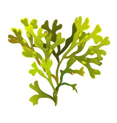 algae fucus isolated on white bladderwrack vector image