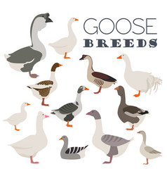 poultry farming goose breeds icon set flat design vector image