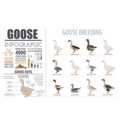 poultry farming infographic template goose vector image