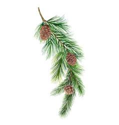 watercolor green spruce branch with cones vector image