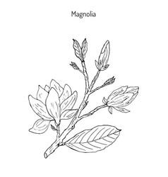 blossom brunch magnolia vector image