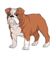 Color english bulldog vector