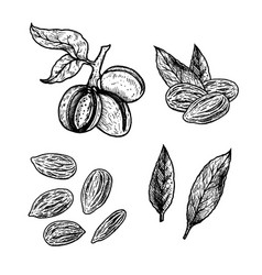 hand drawn set of almond nuts vintage vector image