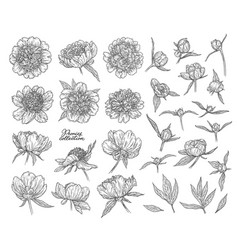 peony flowers and buds hand drawn in lines black vector image