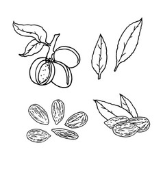 Linear set of almond nuts line drawing vector
