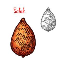 salak or snake fruit of indonesian palm sketch vector image