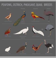 Poultry farming peafowl ostrich pheasant quail vector