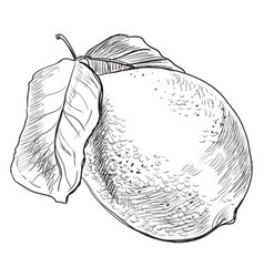 hand drawing fruit-7 vector image