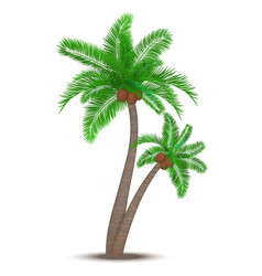 Tropical palm tree with coconuts vector image vector image