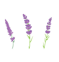 Lavender flowers set vector