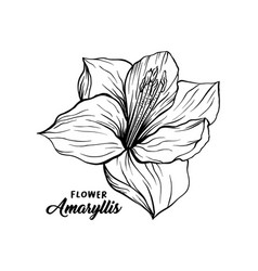 amaryllis flower hand drawn vector image
