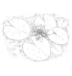 drawing nymphaea plant flower and leaves on vector image