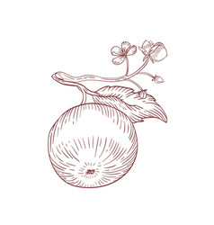 apple on branch realistic hand drawn vector image