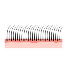 human hair skin structure growth epidermis hair vector image