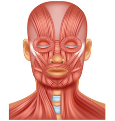 human head muscle on white vector image