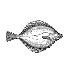 ink sketch of flounder vector image