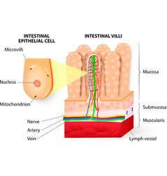 Microvilli Detail of small intestine vector image vector image